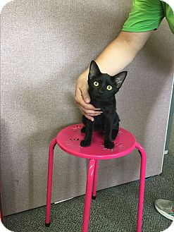 Domestic Shorthair Cat for adoption in Rochester, Minnesota - Juniper