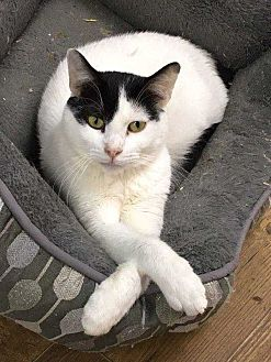 Turkish Van Cat for adoption in Cumberland and Baltimore, Maryland - Lucky