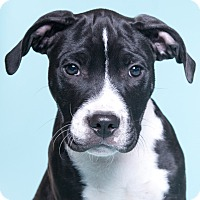 Adopt A Pet :: Turbo - Chicago, IL