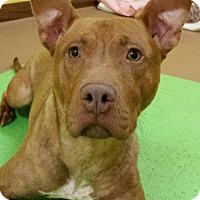 Pit Bull Terrier Mix Dog for adoption in Akron, Ohio - *Spector