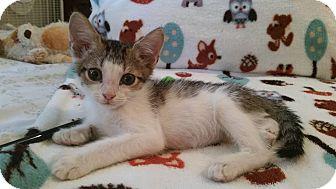Polydactyl/Hemingway Kitten for adoption in Ocala, Florida - Owl