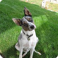 Australian Cattle Dog/Border Collie Mix Dog for adoption in Nampa, Idaho - JOE **adoption pending!**