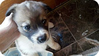 Shepherd (Unknown Type)/Cattle Dog Mix Puppy for adoption in Billings, Montana - Shalom