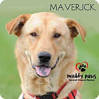 Adopt A Pet :: Maverick - Council Bluffs, IA