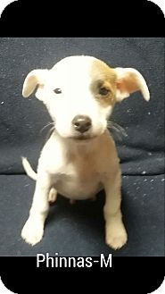 Boxer Mix Puppy for adoption in Albany, New York - Phineas