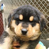Adopt A Pet :: Rambo (Blue Collar) - Fort Madison, IA