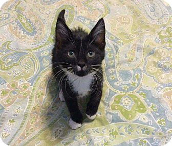 Domestic Shorthair Kitten for adoption in Topeka, Kansas - Boots