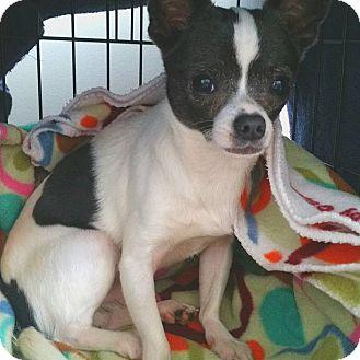 Chihuahua Dog for adoption in Waxhaw, North Carolina - Django