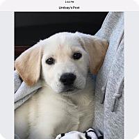 Adopt A Pet :: Taylor - Sagaponack, NY