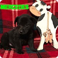 Adopt A Pet :: Mercedes - Garden City, MI