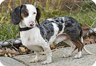 Dachshund Mix Dog for adoption in Brooklyn, New York - Milo