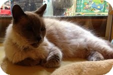 Himalayan Cat for adoption in Modesto, California - Hank