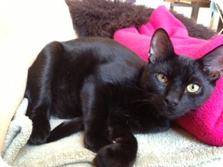 Domestic Shorthair Cat for adoption in Little Falls, New Jersey - Felix (LE)