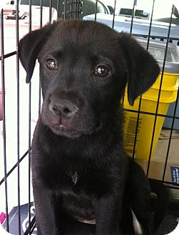 Labrador Retriever/Border Collie Mix Puppy for adoption in Gainesville, Florida - Wendy