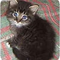 Adopt A Pet :: Bengal mix kittens - Dallas, TX