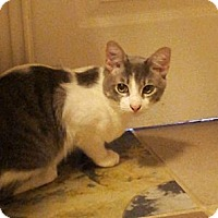 Adopt A Pet :: Romeo - Chandler, AZ
