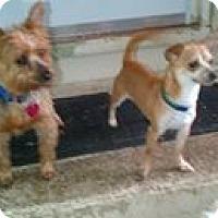 Adopt A Pet :: Domino - South Amboy, NJ