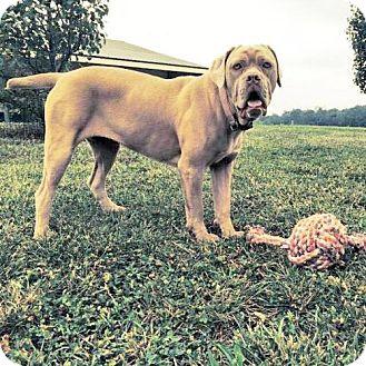 Adoptable Dogs | Midwest Mastiff Rescue Inc.