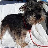 Adopt A Pet :: Porkchop(12 lb) New Pics/Video - Sussex, NJ