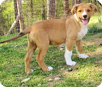 Collie/Labrador Retriever Mix Dog for adoption in Melbourne, Arkansas - Budky Brown