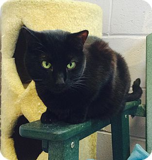 Domestic Shorthair Cat for adoption in Oakland, New Jersey - Sabrina