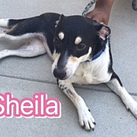 Feist Mix Dog for adoption in Barnwell, South Carolina - Sheila