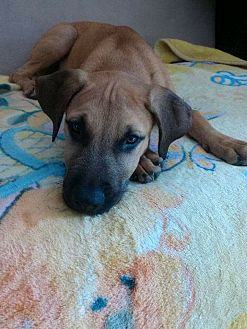 Labrador Retriever/Boxer Mix Dog for adoption in Long Beach, California - Mega