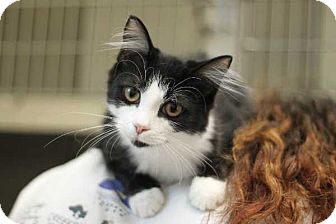 Domestic Mediumhair Cat for adoption in Mebane, North Carolina - Allison