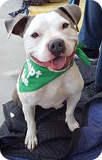 American Staffordshire Terrier Mix Dog for adoption in San Diego, California - Ciroc