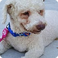 Toy Poodle Mix Dog for adoption in Pompano beach, Florida - Bailey