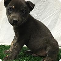 Adopt A Pet :: Ember - Trinidad, CO