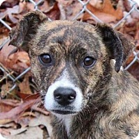 Adopt A Pet :: Shelby - Allentown, PA