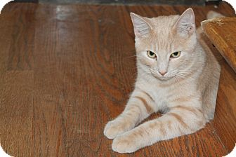 Domestic Shorthair Cat for adoption in Naperville, Illinois - Casanova