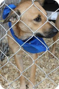 Mountain Cur Mix Dog for adoption in Childress, Texas - Thelma
