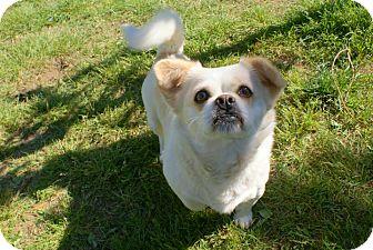 Pekingese Mix Dog for adoption in Yuba City, California - 04/04 Sophie