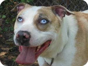Australian Shepherd/American Bulldog Mix Dog for adoption in Kingwood, Texas - Cooper