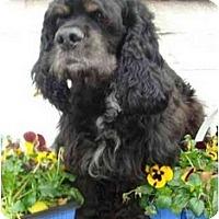 Adopt A Pet :: Sawyer - Sugarland, TX