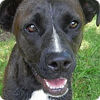 Adopt A Pet :: *Chocolate - PENDING - Westport, CT