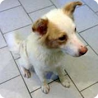 Adopt A Pet :: Maizy-Courtesy Post - North Olmsted, OH