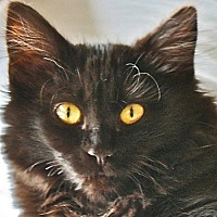 Manx Cat for adoption in Port Angeles, Washington - Bobbie Jo