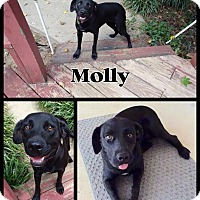 Adopt A Pet :: Molly-pending adoption - Manchester, CT