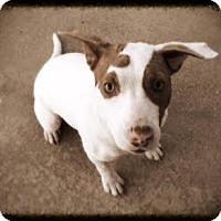 Adopt A Pet :: Steffie - Groton, MA