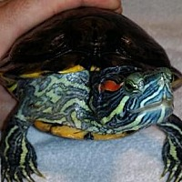 Turtle - Other for adoption in Pefferlaw, Ontario - Veloz