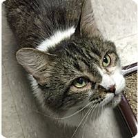 Adopt A Pet :: Patches - Milford, MA