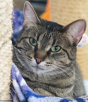 Domestic Shorthair Cat for adoption in St Louis, Missouri - Hilda