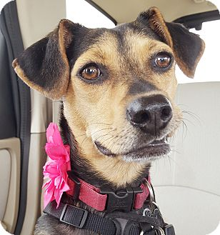 Beagle Mix Dog for adoption in Nashville, Tennessee - Sally