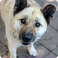 Adopt A Pet :: Bear - Bloomington, MN