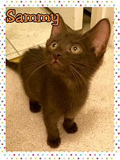 Domestic Shorthair Kitten for adoption in Atco, New Jersey - Sammy