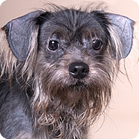 Yorkie, Yorkshire Terrier Mix Dog for adoption in Chicago, Illinois - Greyson