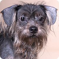 Adopt A Pet :: Greyson - Chicago, IL